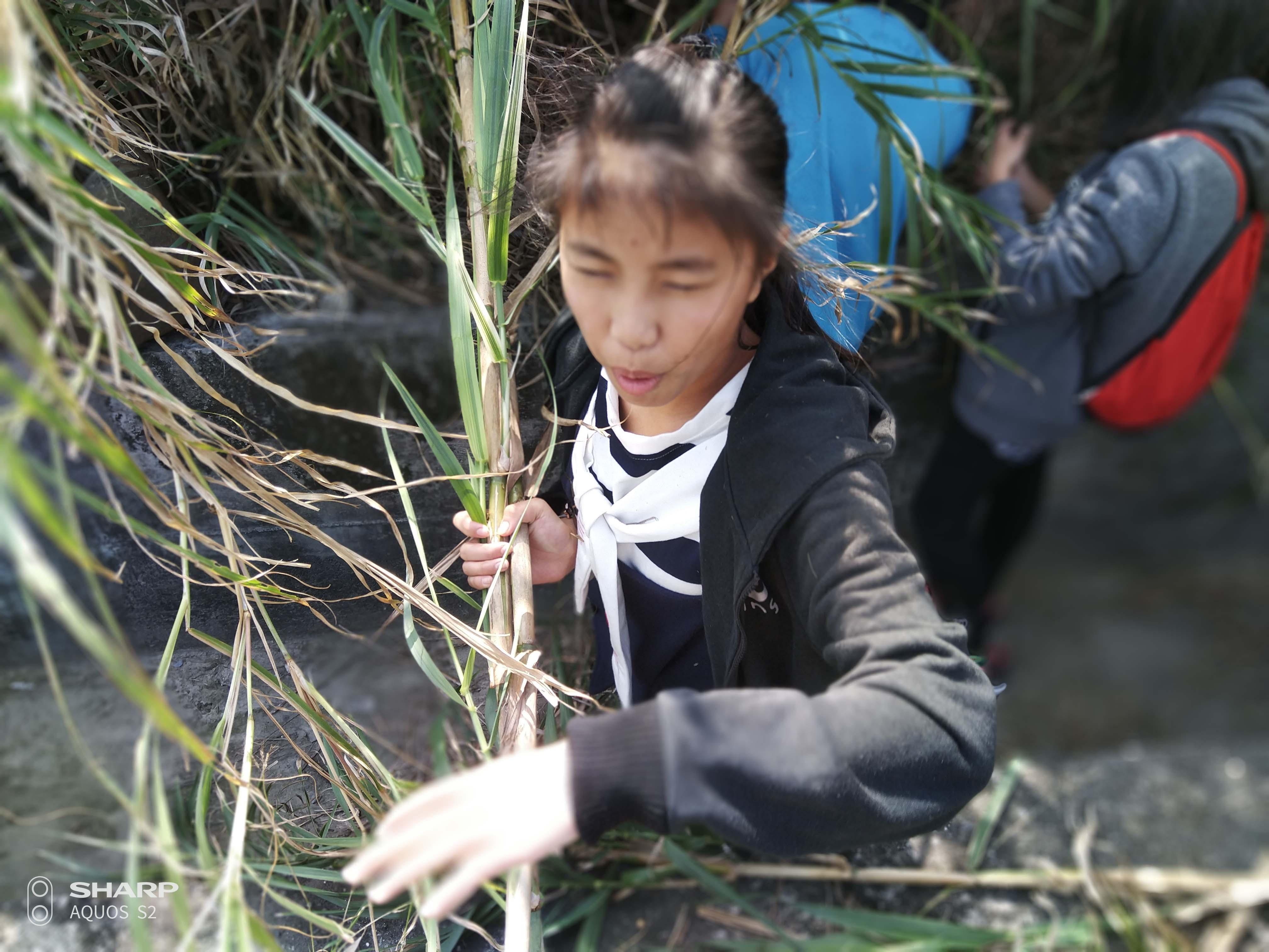 排笛製作課前採蘆竹