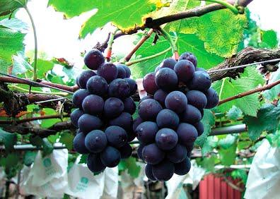 信義鄉葡萄
