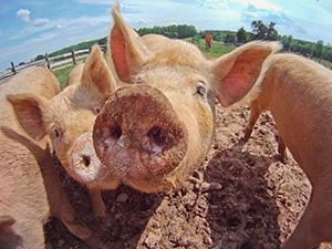 圖說:健康小豬養護,建立豬品食用安全。